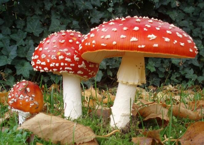 2006-10-25_Amanita_muscaria_crop